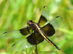 The larval stage of dragonflies may last as long as five years. The adult stage when they have wings and can fly only lasts as long as five or six months. (Wikipedia)