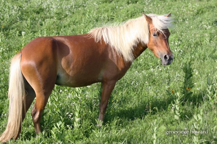 Pixie pony