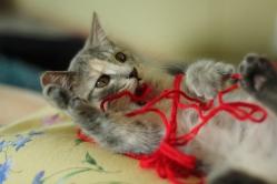 Knittin Kitten