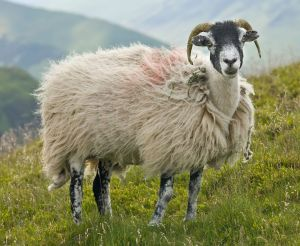"""Swaledale Sheep, Lake District, England - June 2009"" by User:Diliff - Own work. Licensed under Creative Commons Attribution-Share Alike 3.0 via Wikimedia Commons"